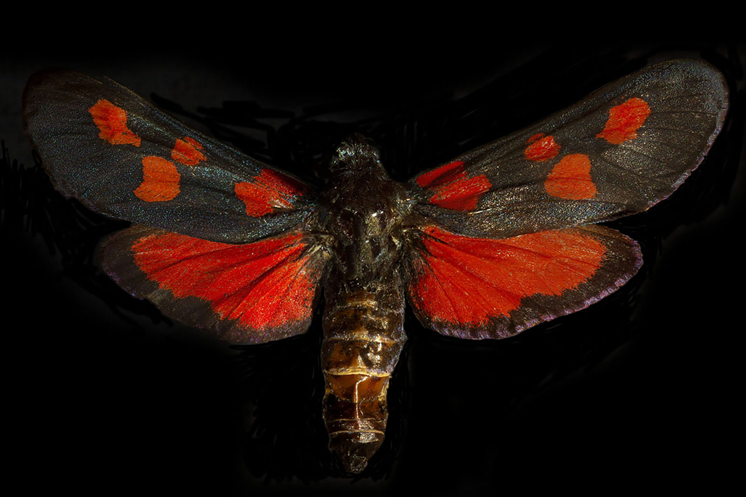 Burnet Moth Submission1.jpg