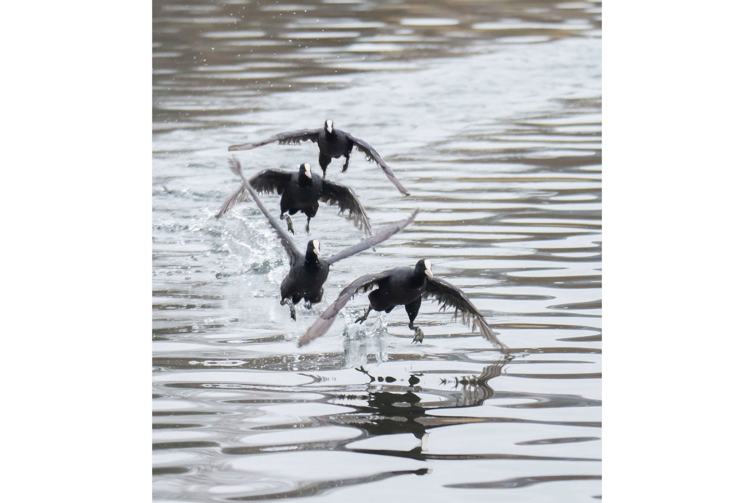 Coot Over The Water.jpg