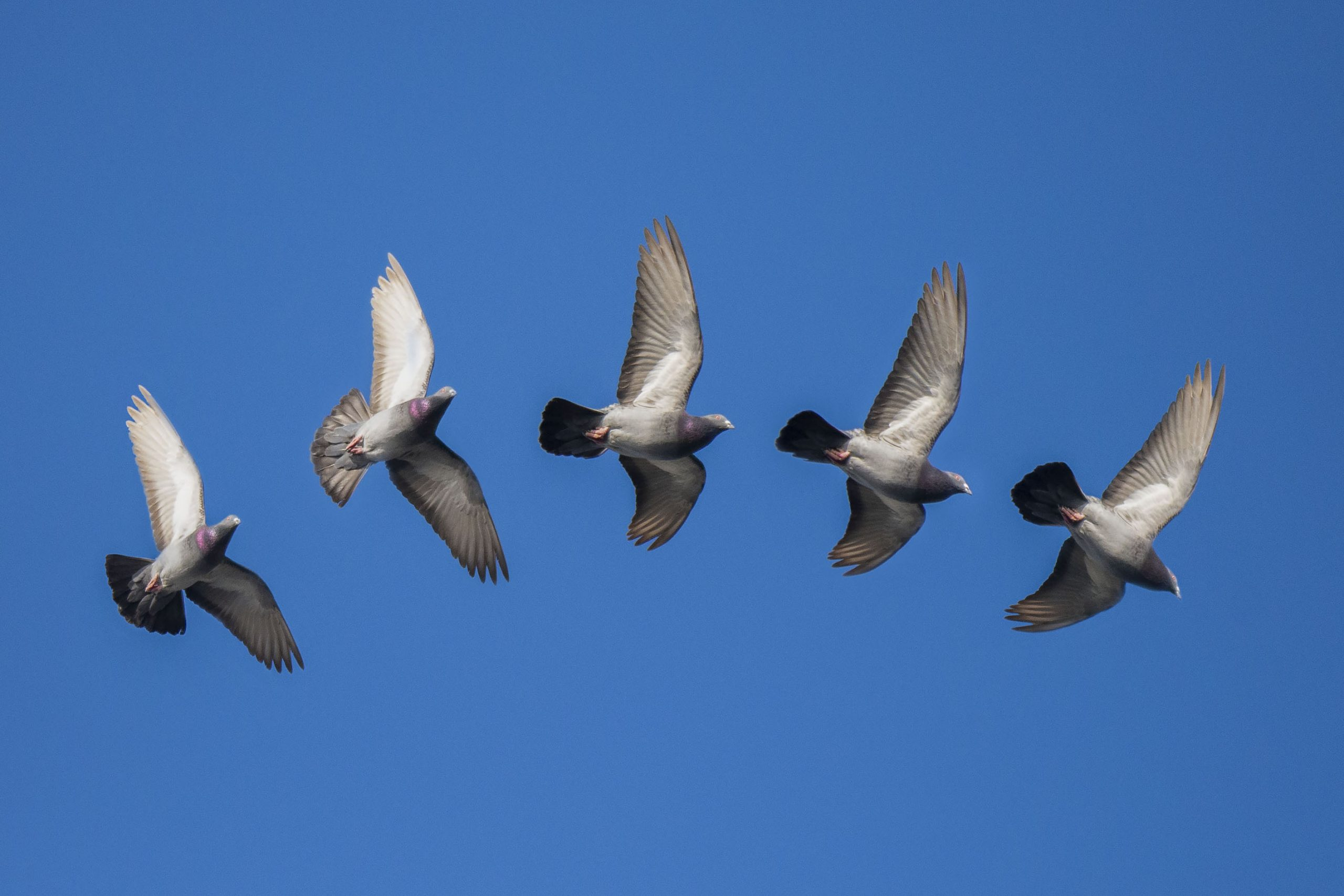 Feral Pigeon In Flight.jpg