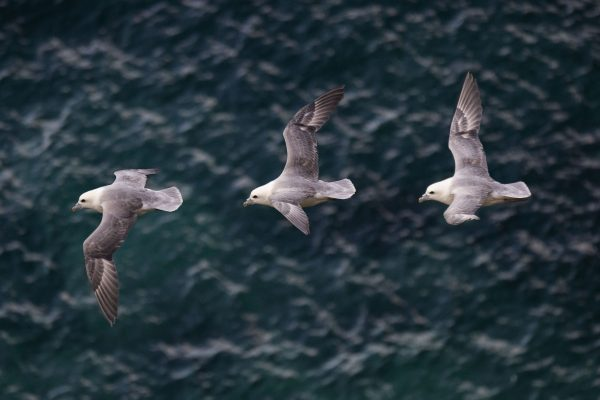 Fulmar In Flight.jpg