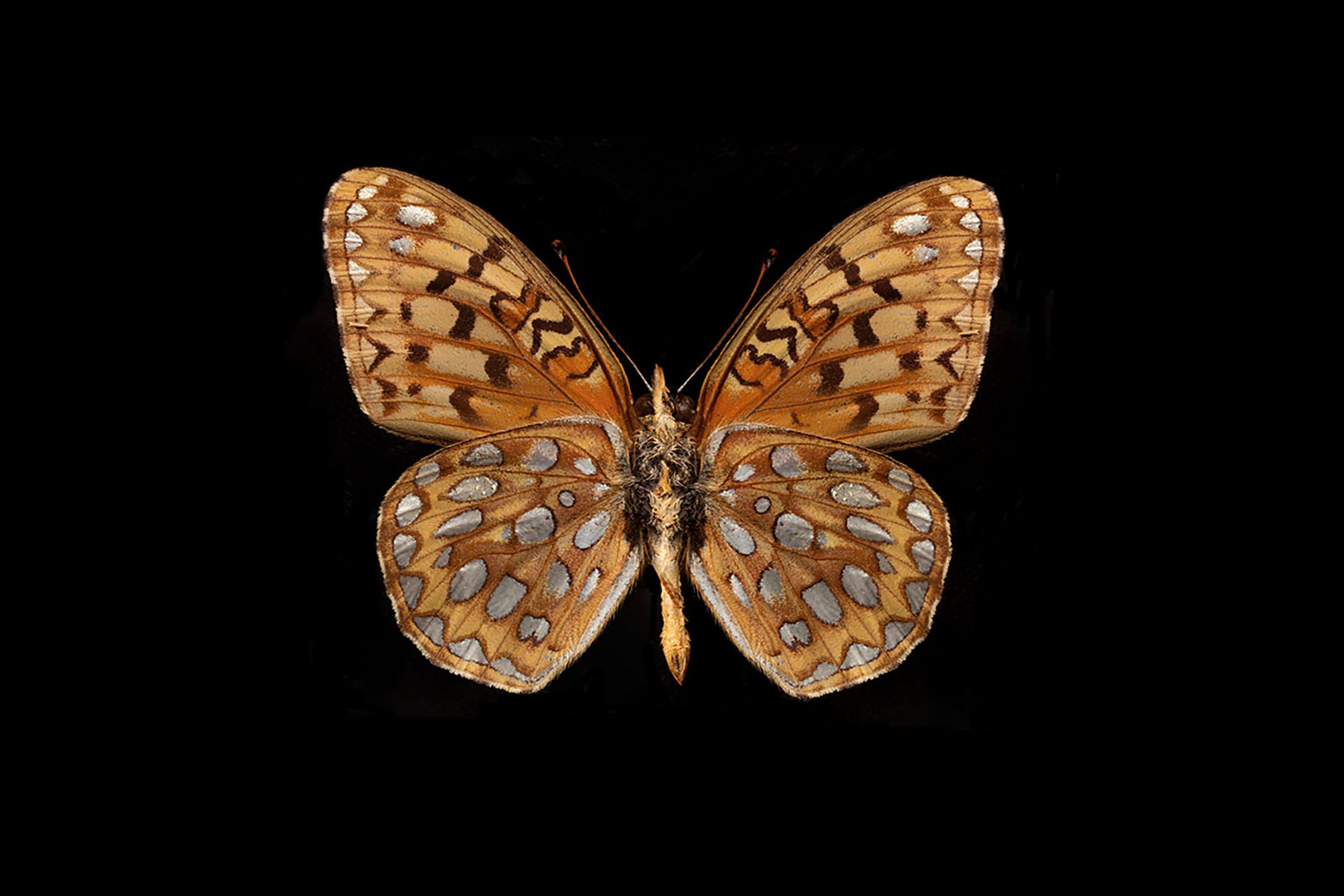 Great Spangled Fritillary Submission.jpg