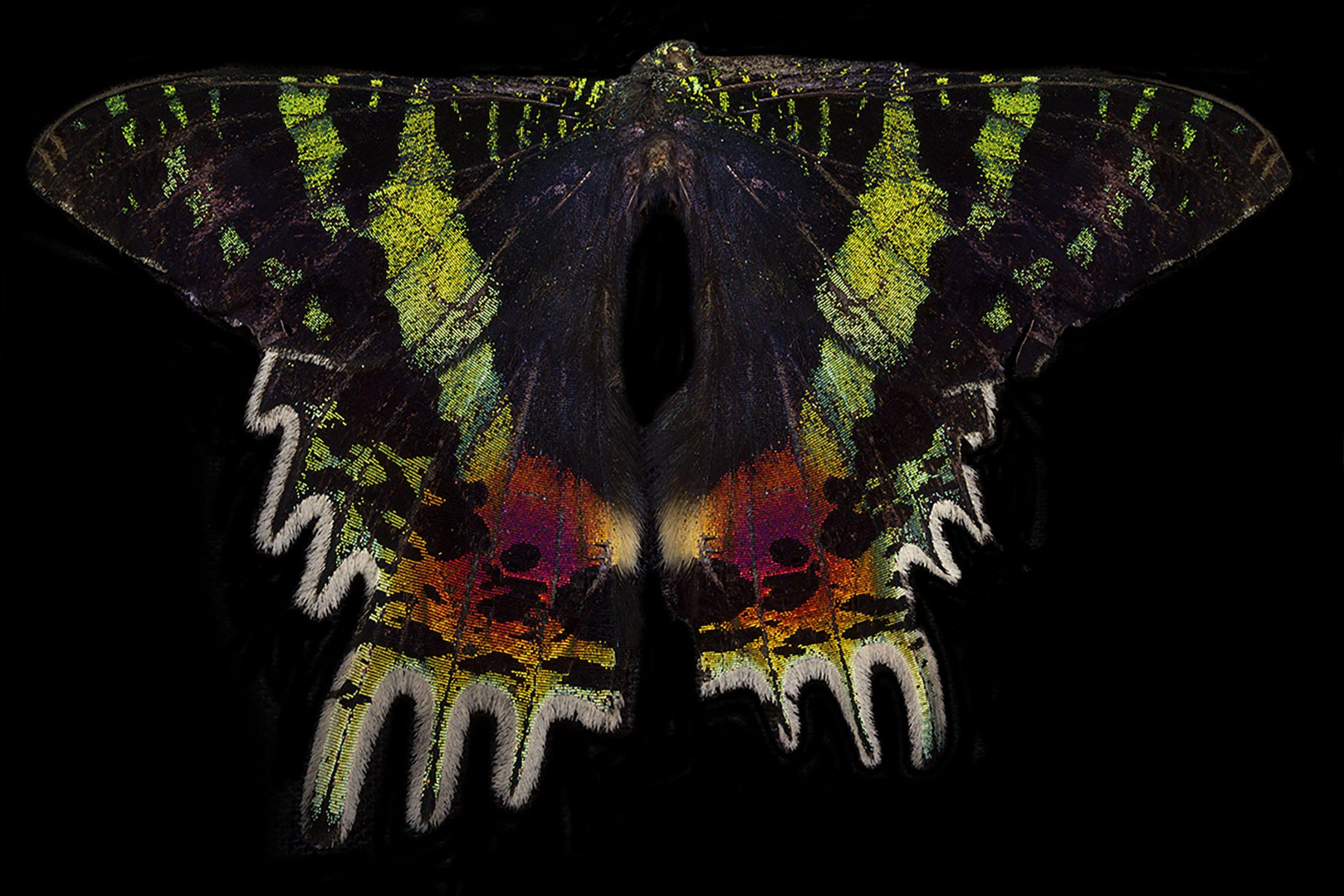 Madagascan Sunset Moth Submission 1.jpg